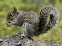 Squirrel Pest Control Ottawa   Squirrel Removal Service Ottawa