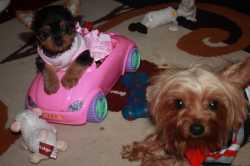 Yorkie purebred puppies